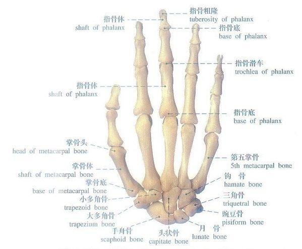 手臂关节骨骼结构图