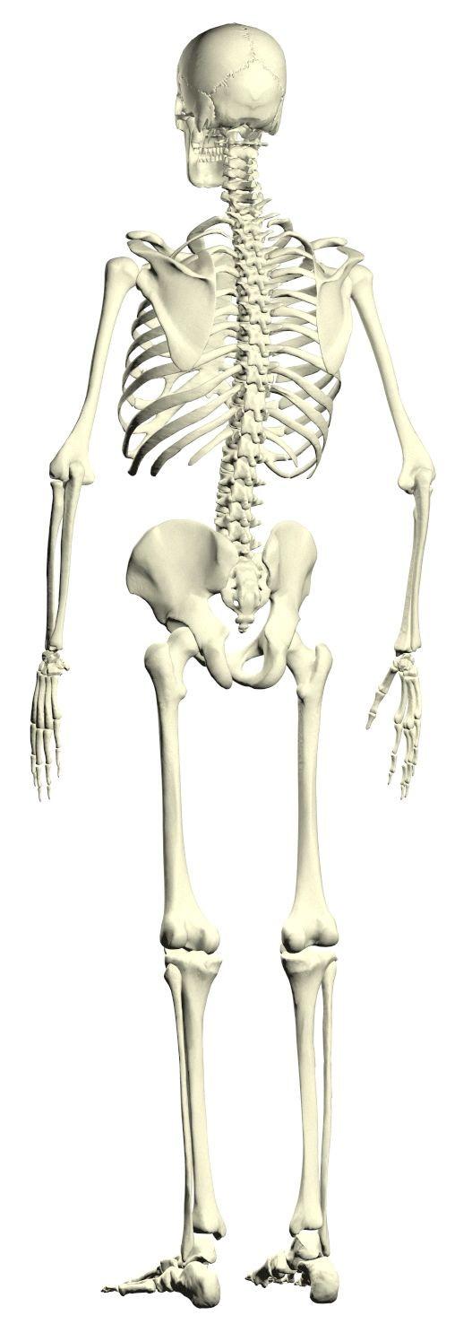 有复杂的内在和外在结构,使骨骼在减轻重量的同时能够保持坚硬.